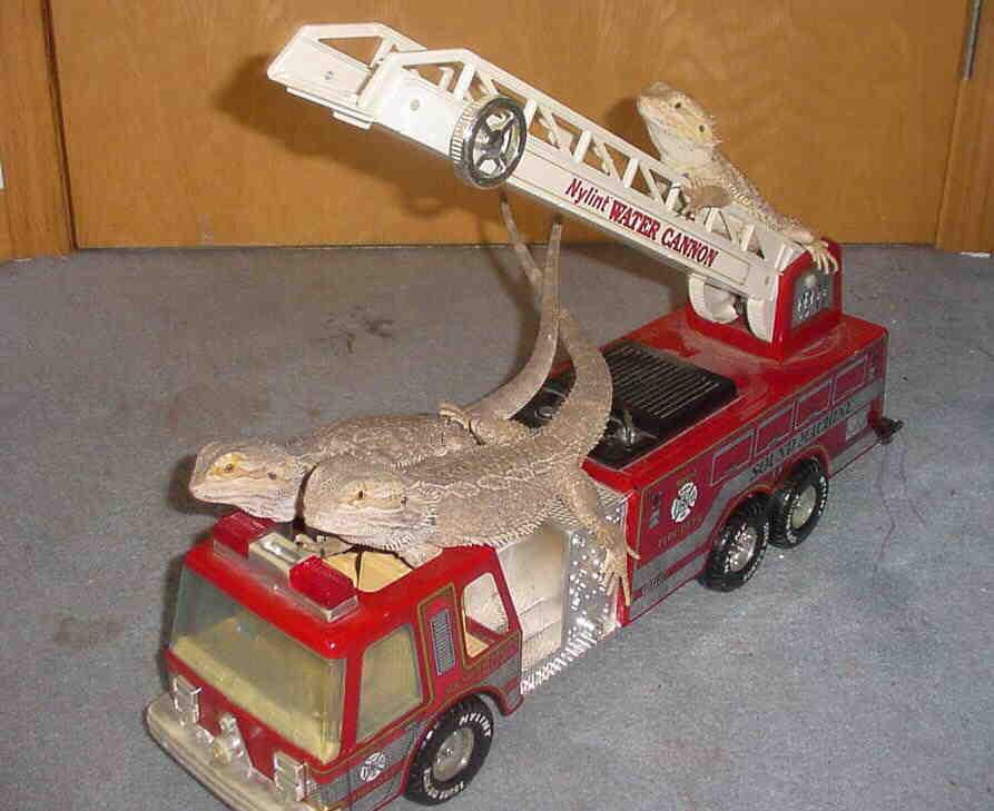 Firetruck lizards